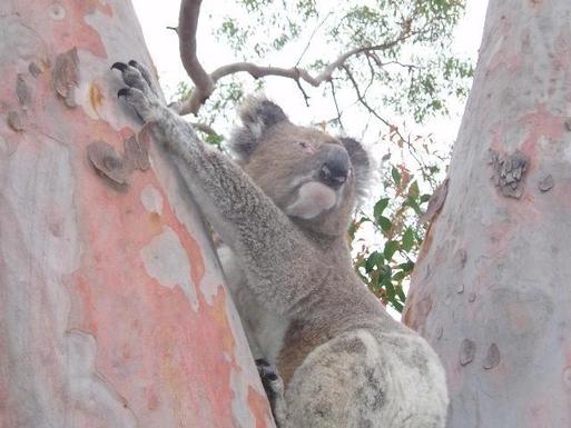 Home exchange in,Australia,Newcastle, 40k, N,Koala in gum tree in our garden