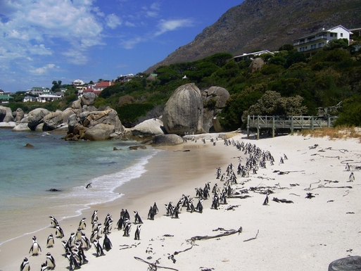 BoligBytte til,South Africa,Hout Bay / Cape Town,Penguins at Boulder's Beach