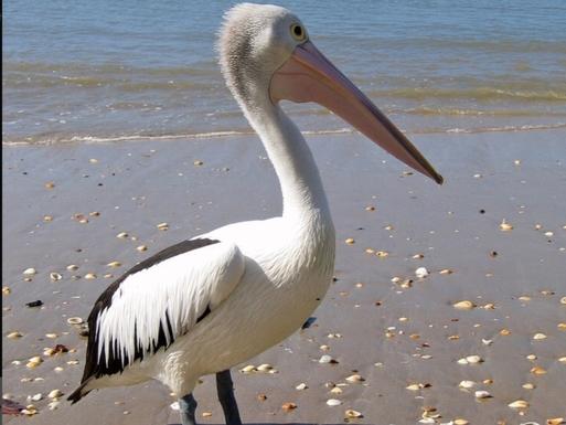 Home exchange in,Australia,Hervey Bay,A local beach dweller