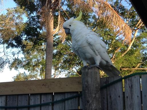 Home exchange in,Australia,Cornubia,White Cockatoo also visiting the garden
