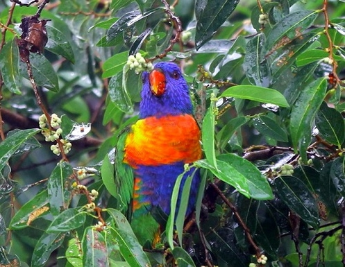 Home exchange in,Australia,TOWNSVILLE,visiting parrots on a rainy sunday in our back yar