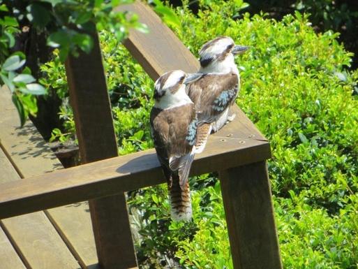 Home exchange in,Australia,Sunshine Beach,Kookaburras use the garden as their larder