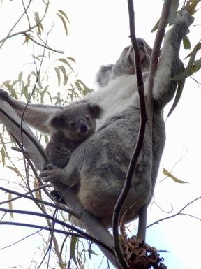 Home exchange in,Australia,Sunshine Beach,Koalas live in Noosa National Park