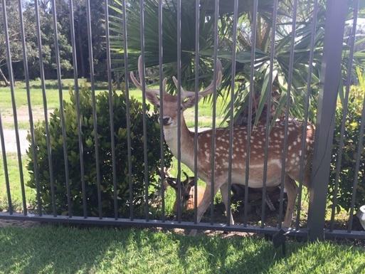 Home exchange in,Australia,Merrimac,The deer visit daily