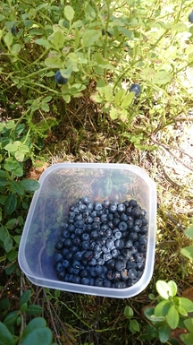 BoligBytte til,Norway,Oslo, 0k, E,Blueberries in the forest. 10 minutes walk away