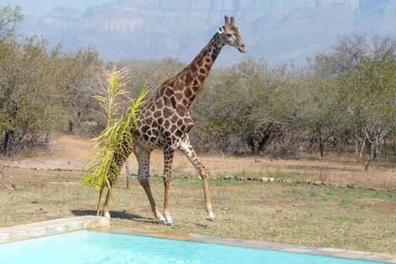 BoligBytte til,South Africa,Hoedspruit,Giraf visiting