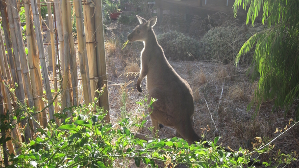 Home exchange in,Australia,Aldinga Beach,This little fella often visits our back yard