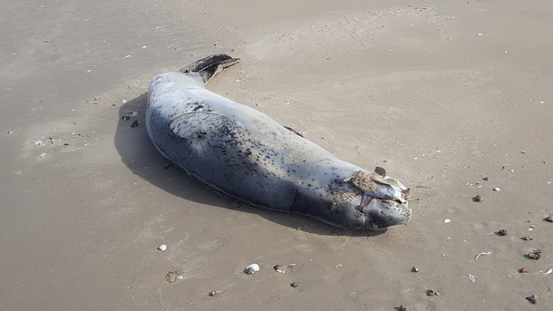"Home exchange in,Australia,MIDWAY POINT,""Wanda"" our wandering Leopard seal with a gift."