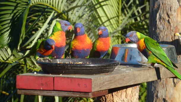 Home exchange in,Australia,ELANORA,Put the seed out in the morning and see lorikeets