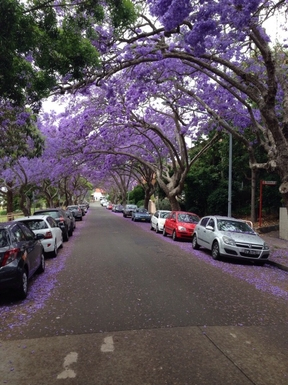 Home exchange in,Australia,Kirribilli, Sydney,Local Street with Jacaranda's in bloom.