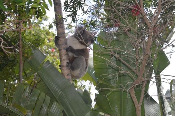 BoligBytte til,Australia,LYNTON,Koala in banana palm in the front garden