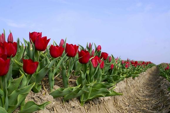 BoligBytte til,Netherlands,Amersfoort (Amsterdam 50N), 0k,,Tulips in the north of Holland (1,5 hour drive)