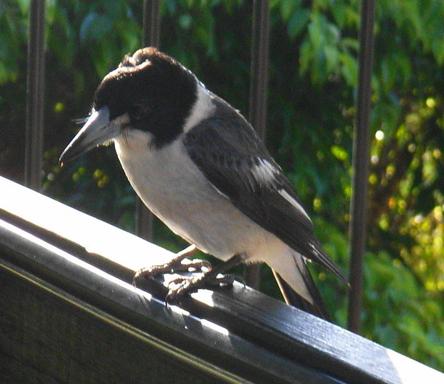 Home exchange in,Australia,VALLA BEACH,Butcher bird on top railing.