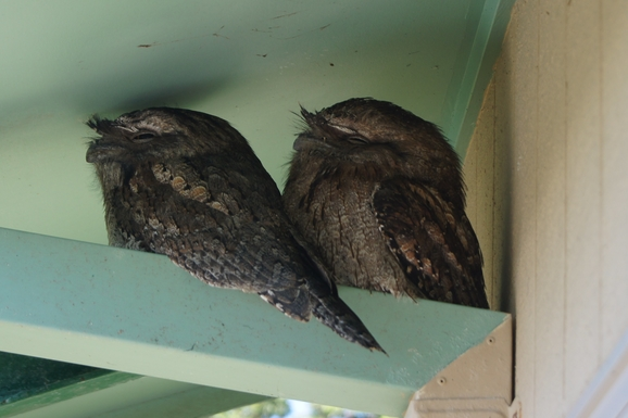 Home exchange in,Australia,VALLA BEACH,Tawney Frogmouths under the eaves.