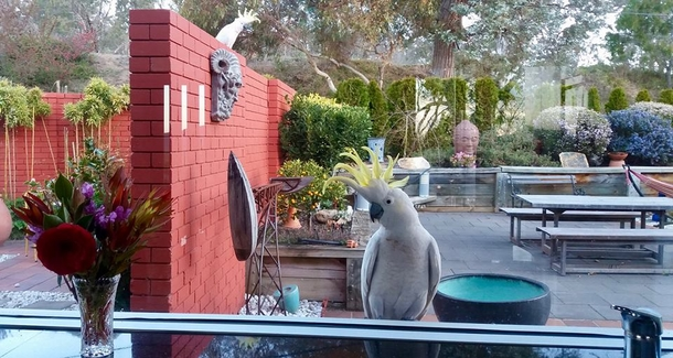 This cockatoo is curious about what we are cooking