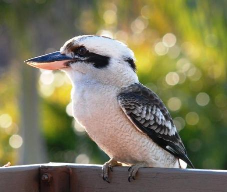 Home exchange in,Australia,SANDSTONE POINT,regular garden guest - kookaburra