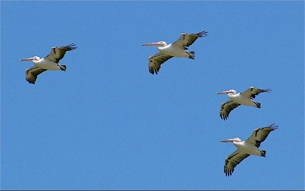 Home exchange in,Australia,SANDSTONE POINT,Pelican flying high