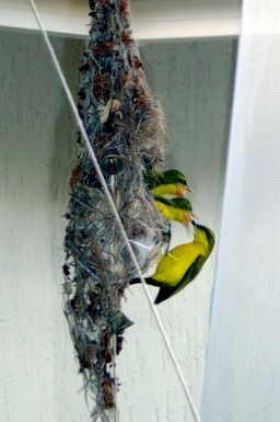 Home exchange in,Australia,CLIFTON BEACH,Yellow bellied sunbirds may nest on the patio