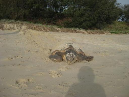 Home exchange in,Australia,WOORIM,Loggerhead turtle on Bribie beach