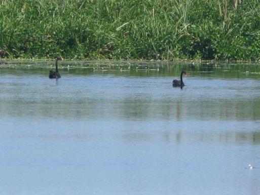 Home exchange in,Australia,WOORIM,Black swans at Buckley's Hole