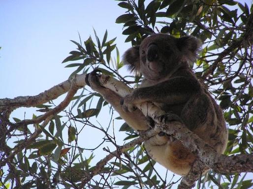 Home exchange in,Australia,TUGUN,Koala in the wild