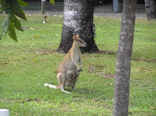 Home exchange in,Australia,TUGUN,Kangaroo in the wild