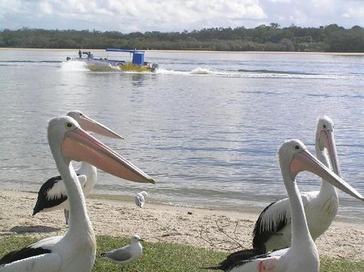 Home exchange in,Australia,TUGUN,Pelicans on Currumbin Creek