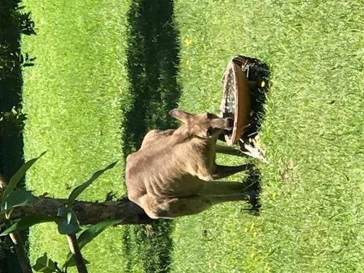 Home exchange in,Australia,WOOLGOOLGA,Kangaroo in the Garden