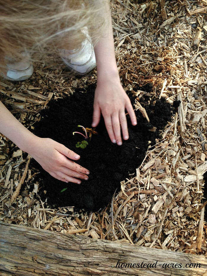 Planting Strawberry roots
