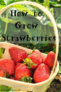 I love growing strawberries in my backyard garden! These easy tips will help you step by step on how to plant and grow lots of strawberries even if your a beginner at gardening.