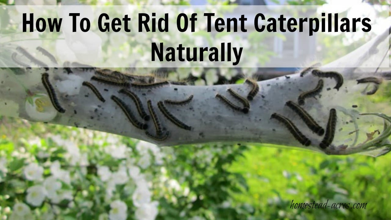 Tent caterpillars can be a real nuisance in your garden. They will quickly defoliate the trees. This is my quick and easy way to kill tent caterpillars in my trees non toxic and completely harmless to my children, pets and trees. | www.homestead-acres.com