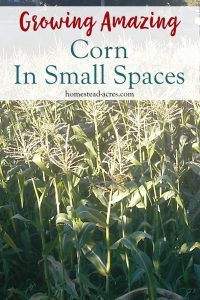 You can grow lots of corn in a small space! These step by step tips on how to plant corn using the square foot method will help you grow lots of sweet corn in your backyard garden. Even if you are a beginner gardener it is well worth it to try growing your own corn, you just can't beat the taste of fresh homegrown sweet corn!