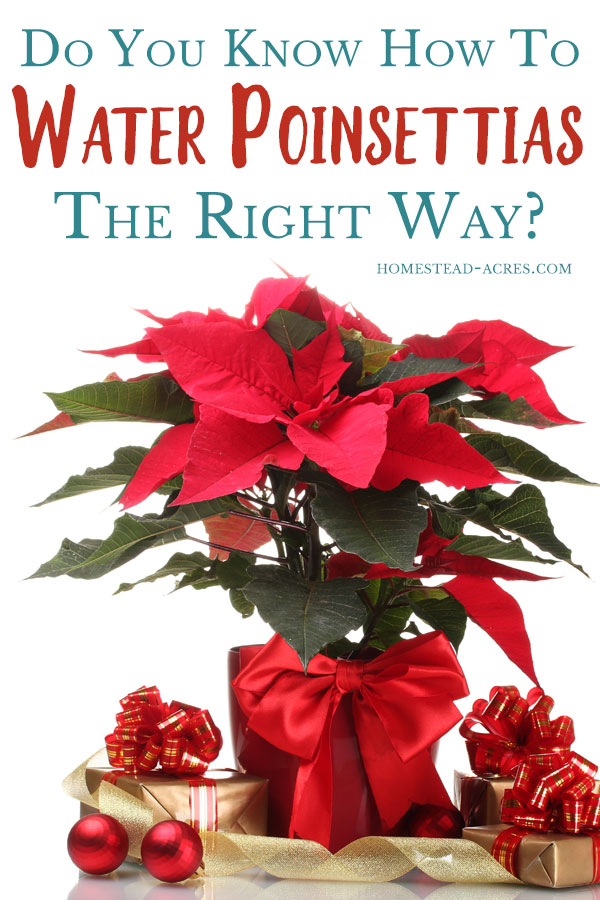 How To Water Poinsettias