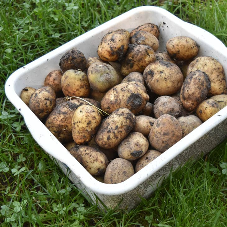 Planting Potatoes In The Fall