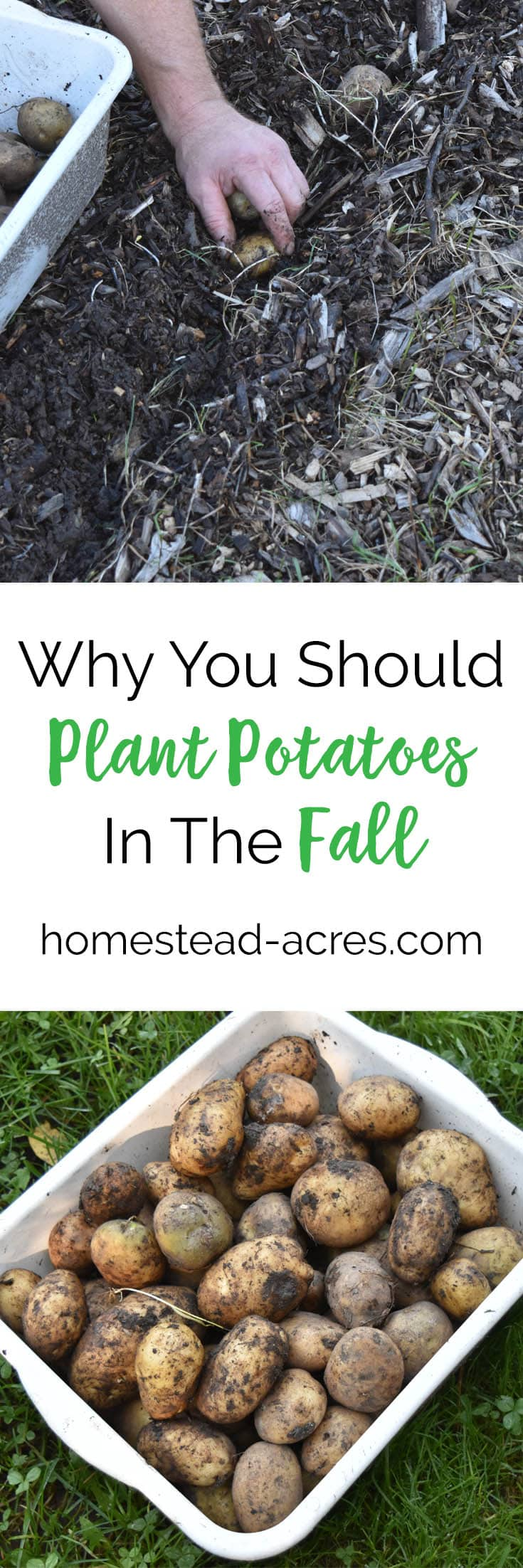 Planting Potatoes. How to plant potatoes in the fall. Save time and get a better harvest of potatoes next summer. #gardening #growingpotatoes