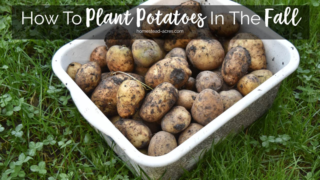 Planting Potatoes How To Plant Potatoes In The Fall Homestead Acres