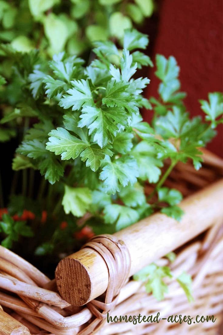 Growing parsley indoors in the winter