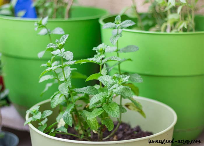 Tips for growing mint indoors in the winter
