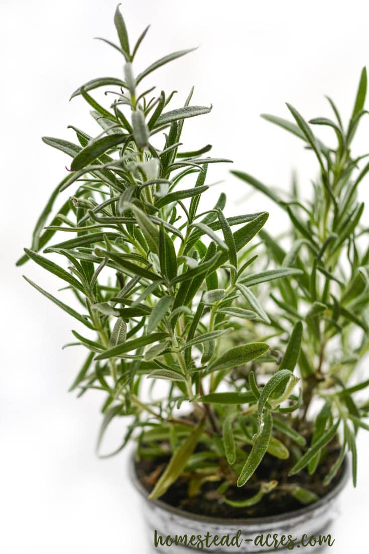 Tips for growing rosemary indoors in the winter.