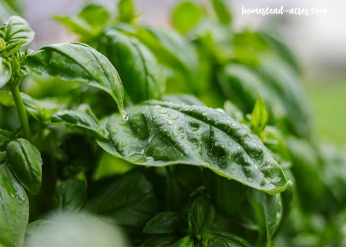 How To Grow Basil In The Winter