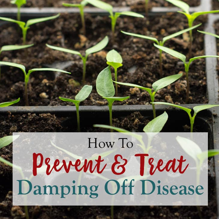 Ways to prevent and treat damping off disease in seedlings.