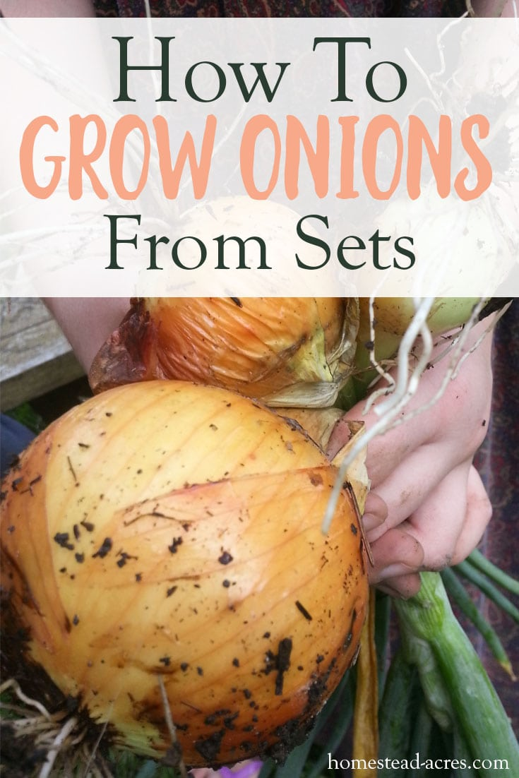 HOW TO GROW ONIONS FROM SETS: Would you like to grow your own onions? Onions are so easy to grow from sets if you follow these simple tips. Enjoy harvesting lots of onions from your backyard garden.