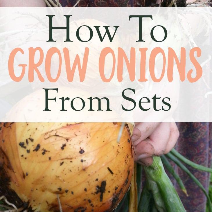 Growing onions in your backyard garden