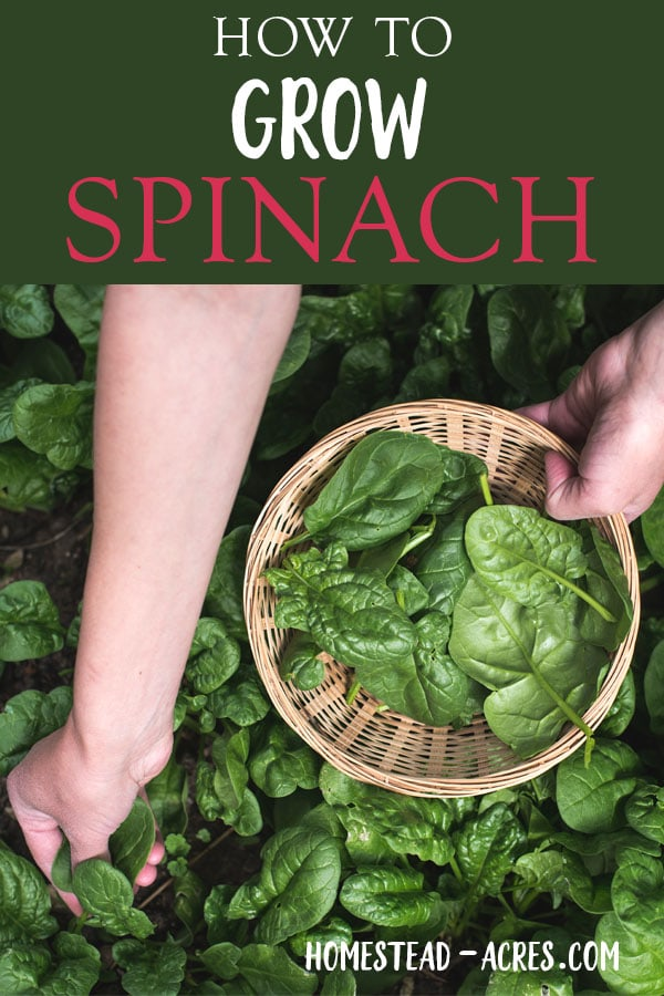 Growing Spinach: How to grow spinach from seed in your backyard vegetable garden. These easy tips will help you grow lots of tasty spinach and enjoy a long harvest.