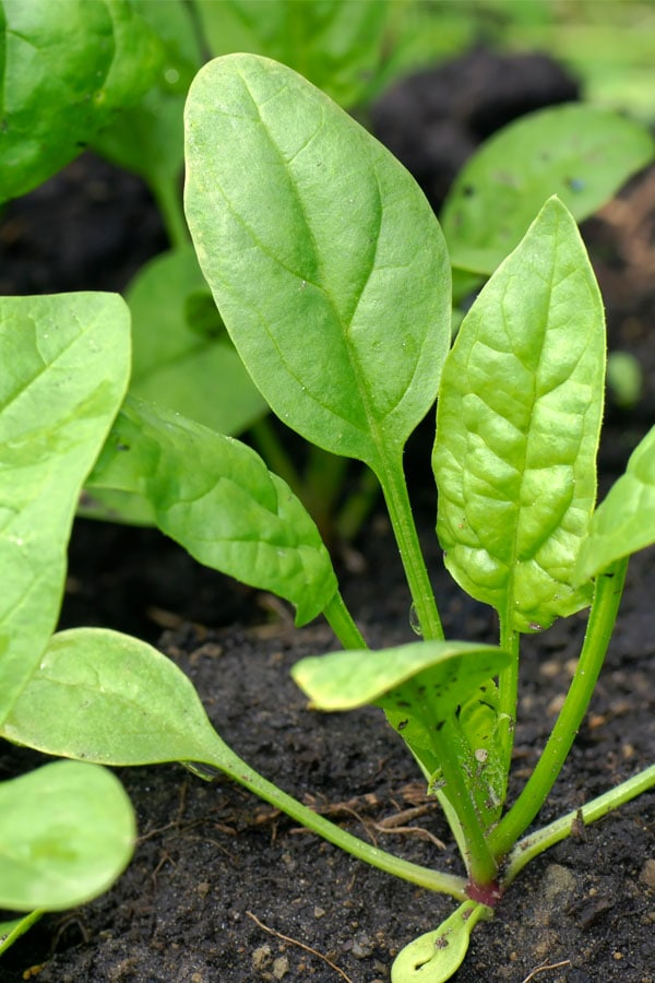 Growing spinach in your home garden.