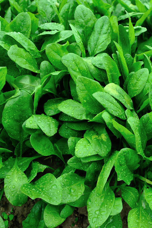 How to grow spinach in your garden.