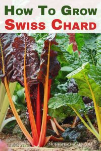Growing Swiss Chard: I love growing Swiss chard in my backyard vegetable garden! Come and see how to grow Swiss chard plants from seed or transplant. It's so easy even for beginner gardeners.
