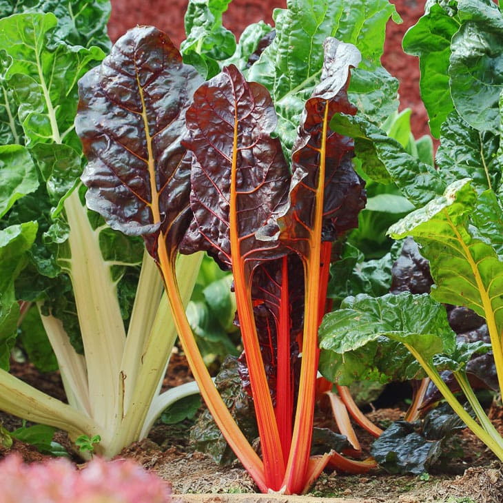 Tips For Growing Swiss Chard