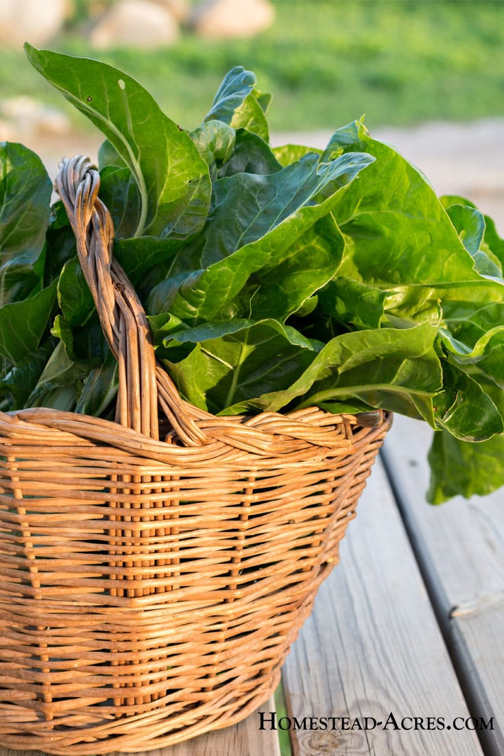 Tips for harvesting and storing Swiss chard from your backyard garden.
