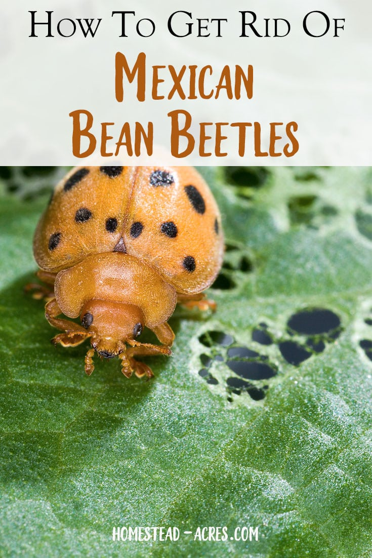 Mexican bean beetles are a nasty pest that eats your bean plants. Thankfully these are great ways to control garden pests and get rid of bean beetles in your backyard garden naturally.